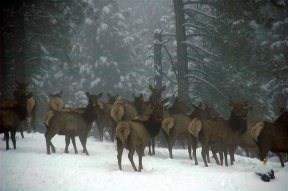 We Are Visited By a Heard of Elk
